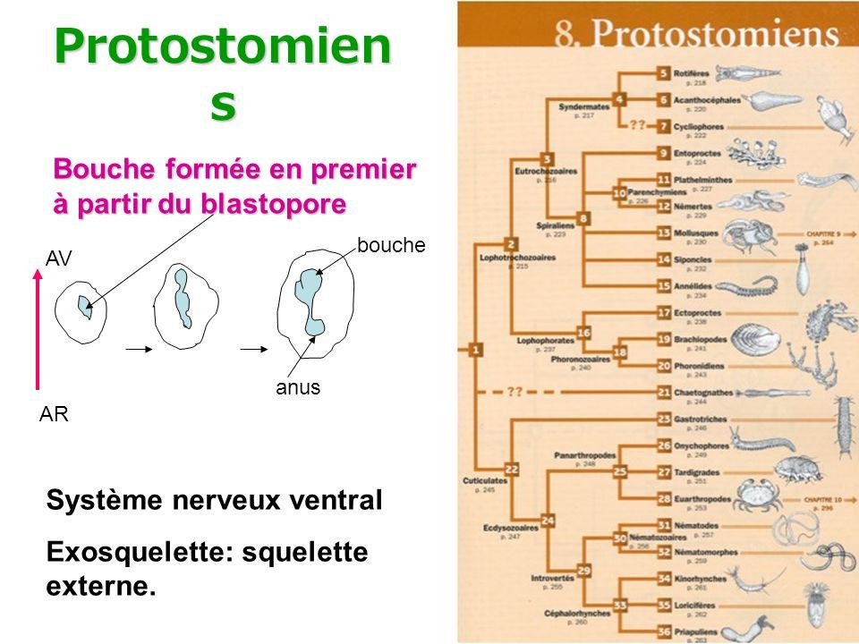 Protostomiens Bouche formée en premier à partir du blastopore