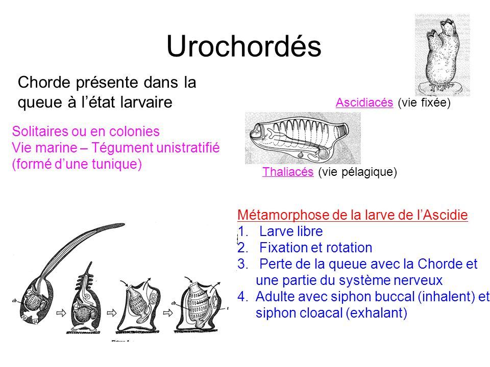 Urochordés Chorde présente dans la queue à l'état larvaire