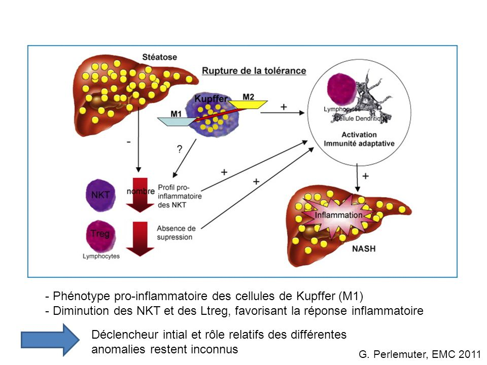 Phénotype pro-inflammatoire des cellules de Kupffer (M1)