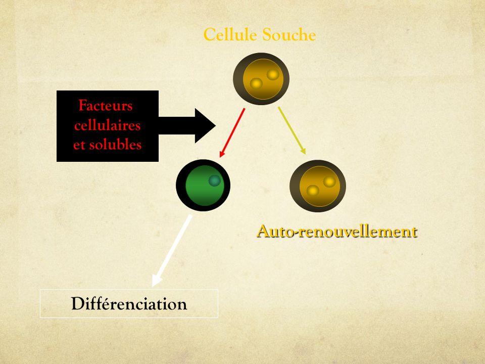 Cellule Souche Auto-renouvellement Différenciation