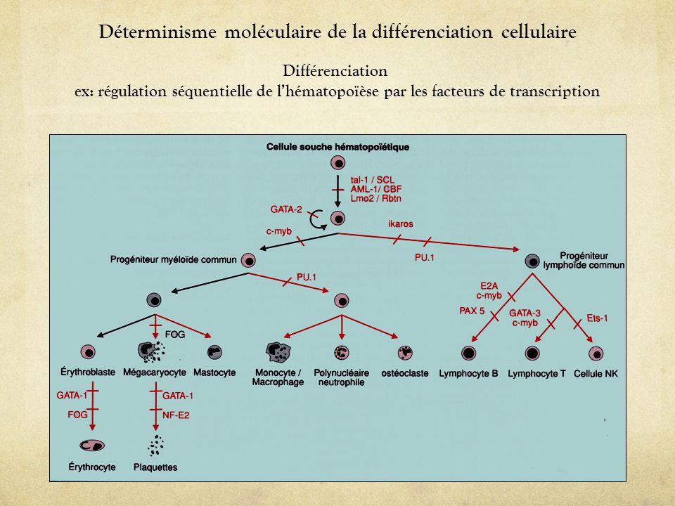 Déterminisme moléculaire de la différenciation cellulaire