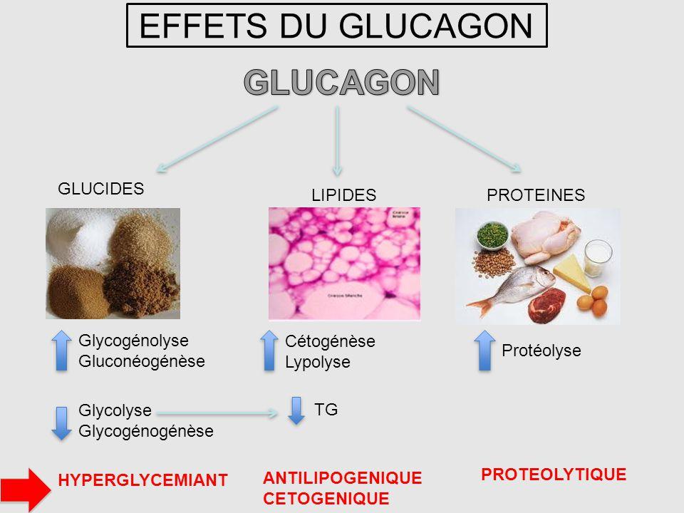 EFFETS DU GLUCAGON GLUCAGON GLUCIDES LIPIDES PROTEINES Glycogénolyse