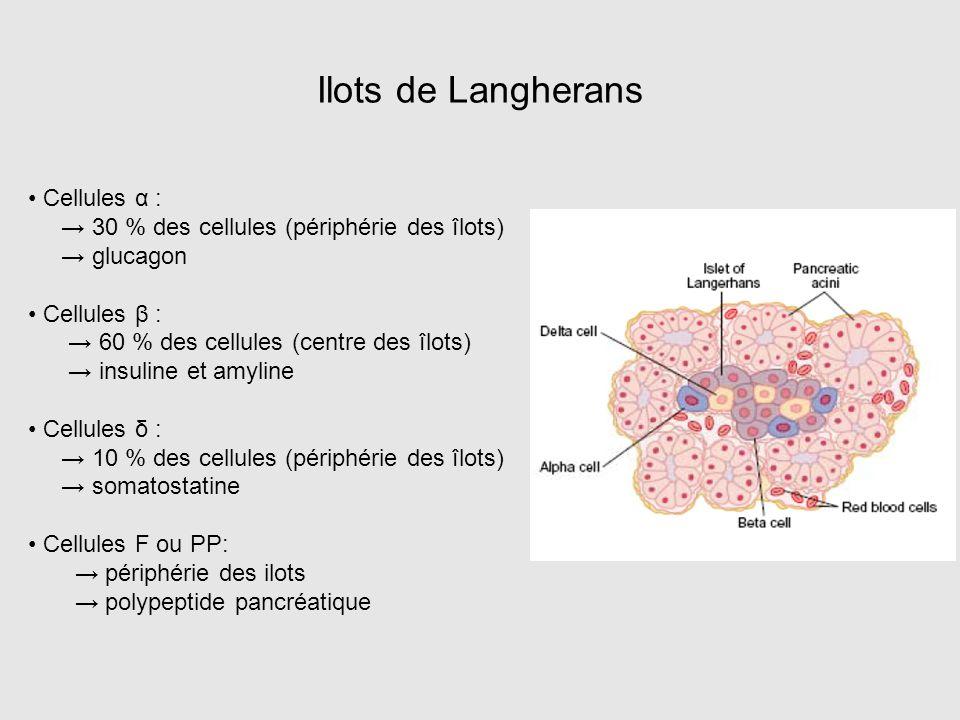 Ilots de Langherans • Cellules α :