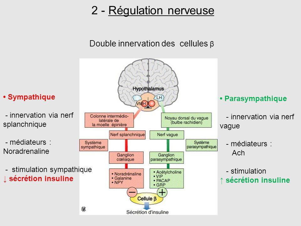 Double innervation des cellules β