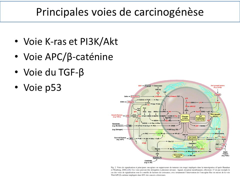 Principales voies de carcinogénèse