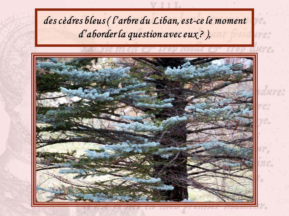 des cèdres bleus ( l'arbre du Liban, est-ce le moment d'aborder la question avec eux ),