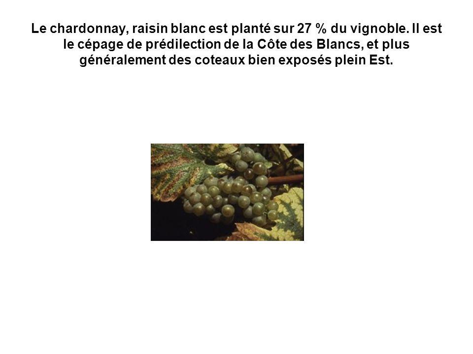 Le chardonnay, raisin blanc est planté sur 27 % du vignoble