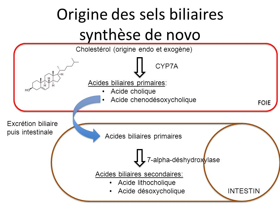 Origine des sels biliaires synthèse de novo