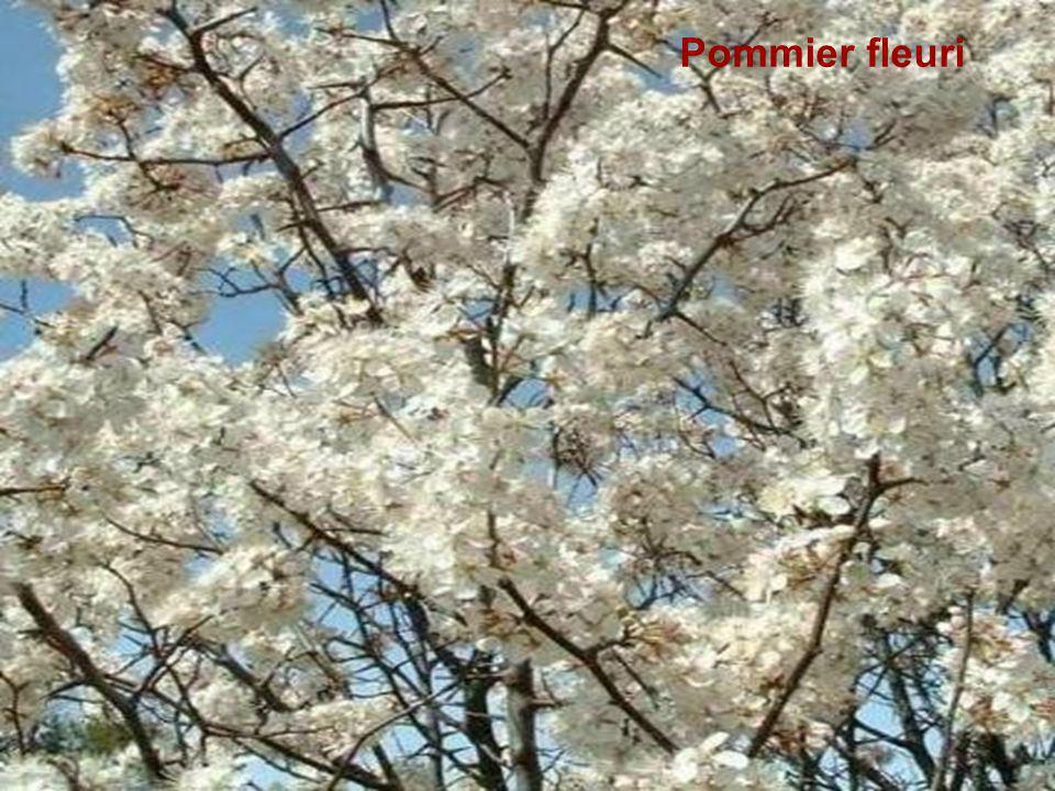 Pommier fleuri