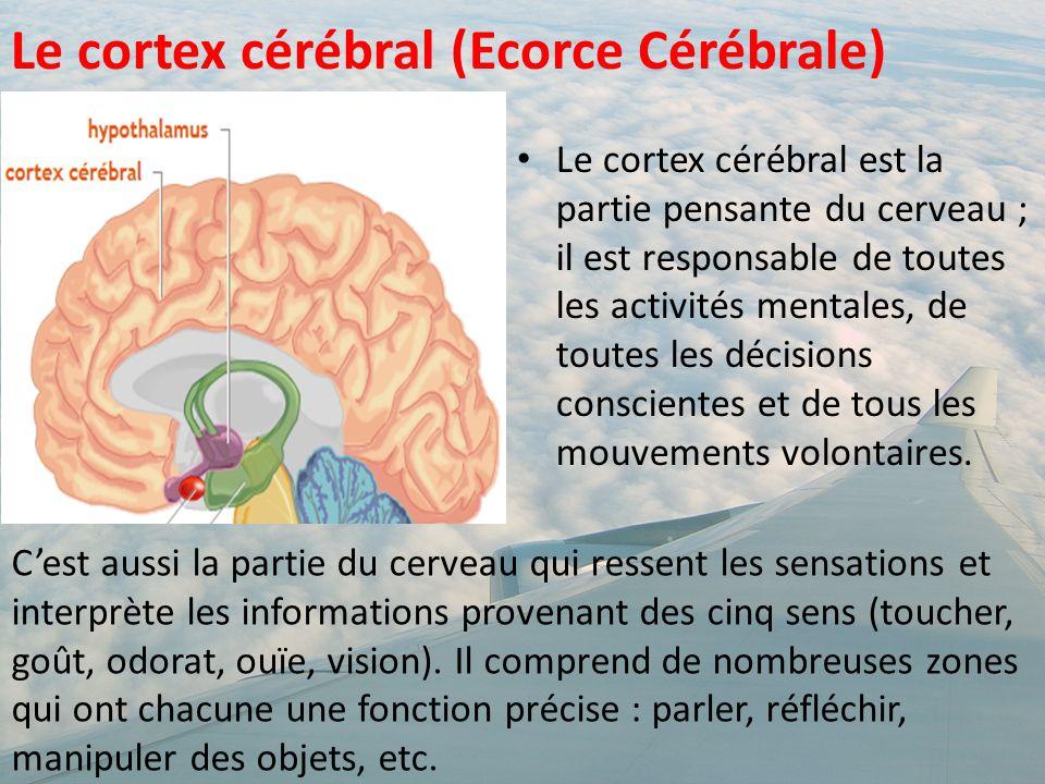 Le cortex cérébral (Ecorce Cérébrale)