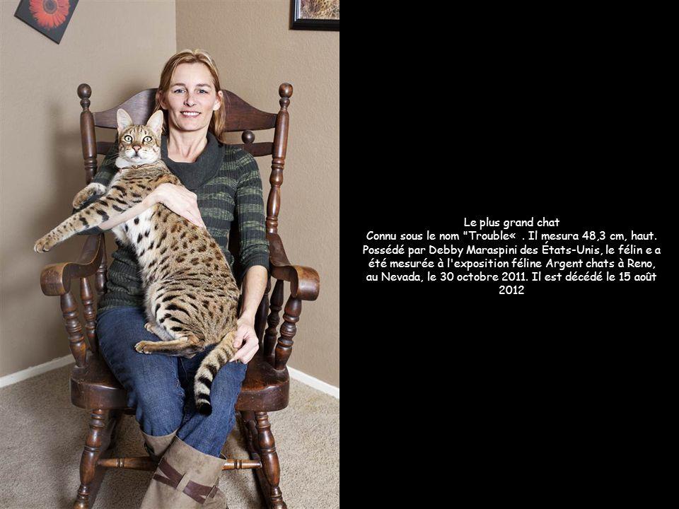 Le plus grand chat Connu sous le nom Trouble« . Il mesura 48,3 cm, haut. Possédé par Debby Maraspini des États-Unis, le félin e a été mesurée à l exposition féline Argent chats à Reno, au Nevada, le 30 octobre 2011. Il est décédé le 15 août 2012