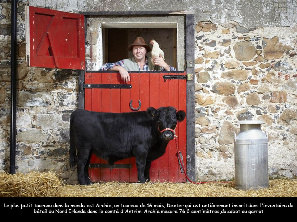 Le plus petit taureau dans le monde est Archie, un taureau de 16 mois, Dexter qui est entièrement inscrit dans l inventaire du bétail du Nord Irlande dans le comté d Antrim. Archie mesure 76,2 centimètres,du sabot au garrot