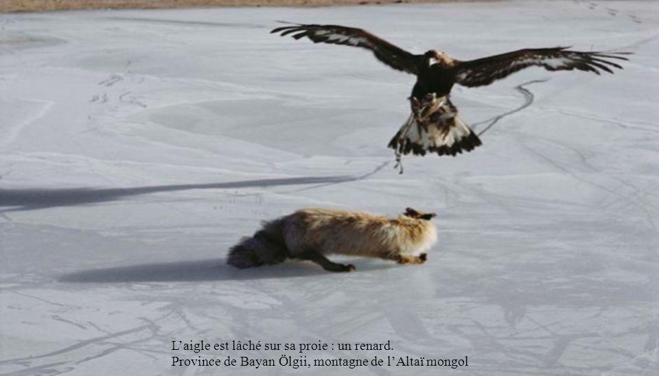 L'aigle est lâché sur sa proie : un renard