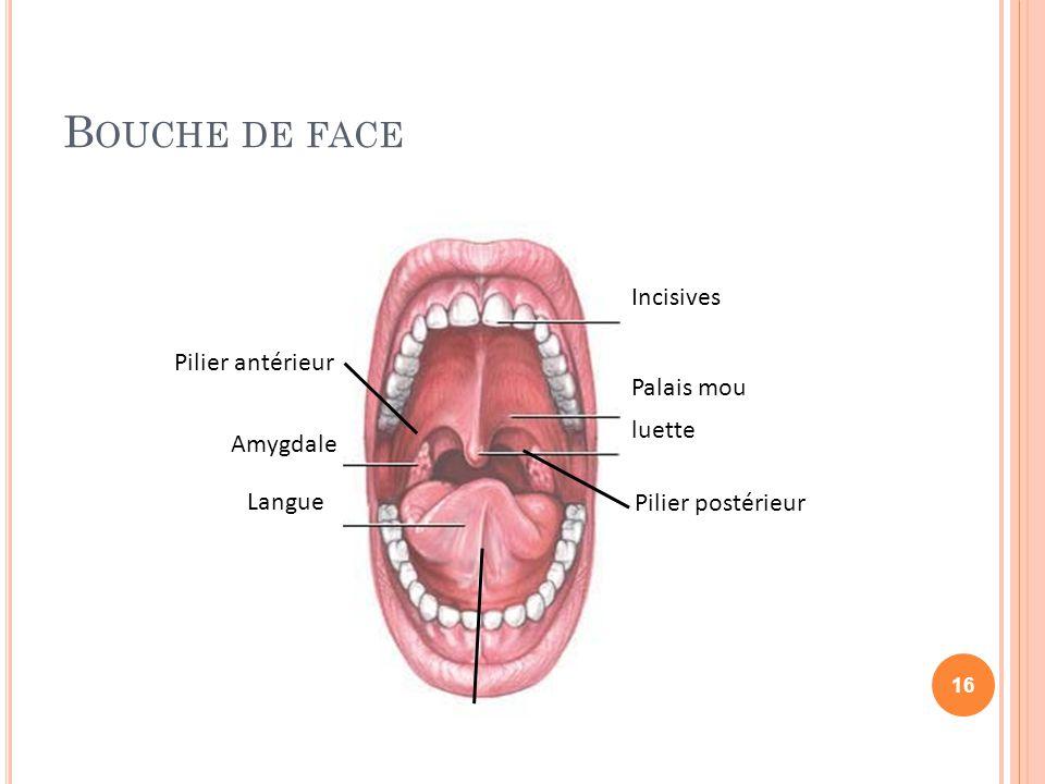 Bouche de face Incisives Pilier antérieur Palais mou luette Amygdale