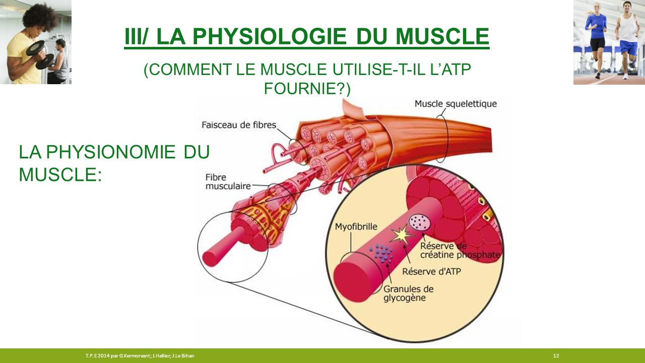 III/ La physiologie du muscle