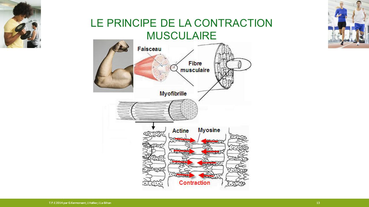 Le principe de la contraction musculaire
