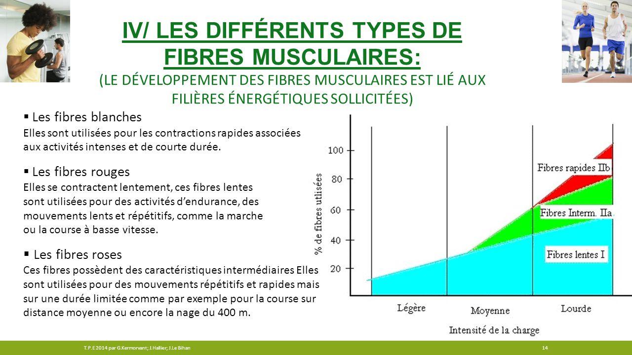 IV/ Les différents types de fibres musculaires: