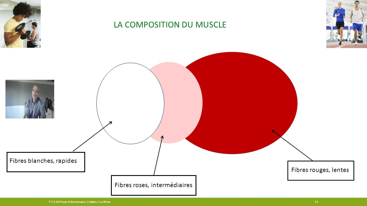 La composition du muscle