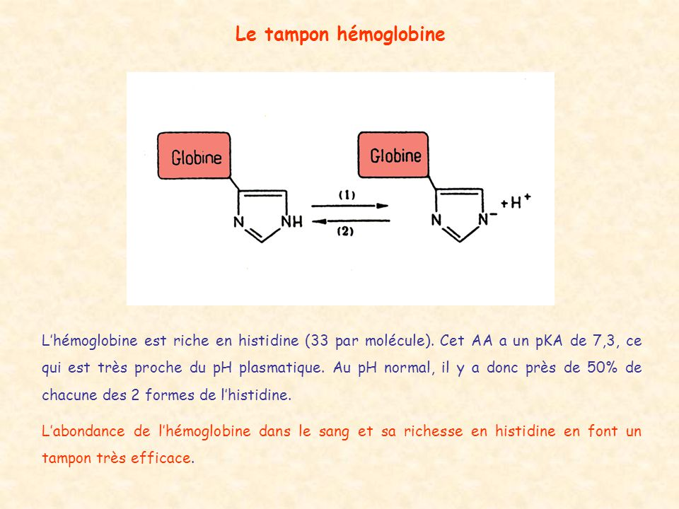 Le tampon hémoglobine