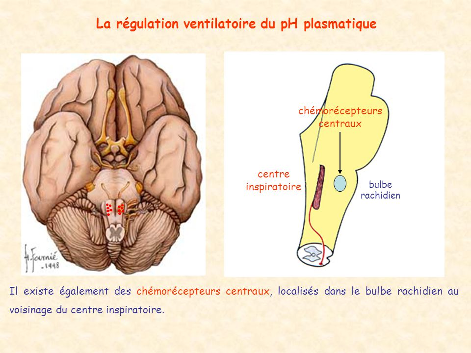 La régulation ventilatoire du pH plasmatique