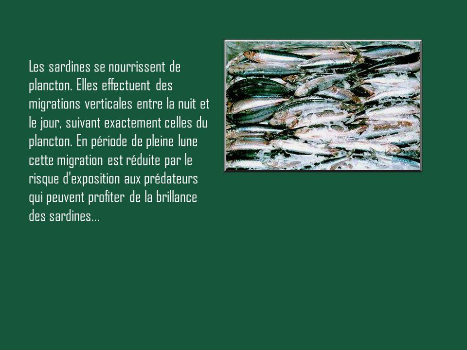 Les sardines se nourrissent de plancton