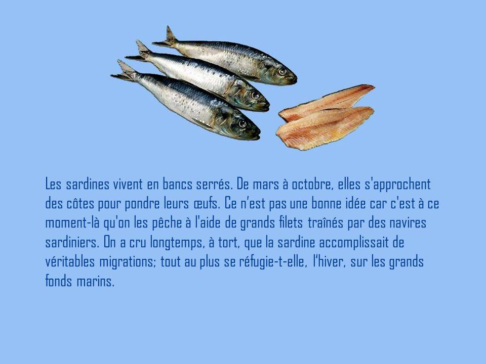 Les sardines vivent en bancs serrés