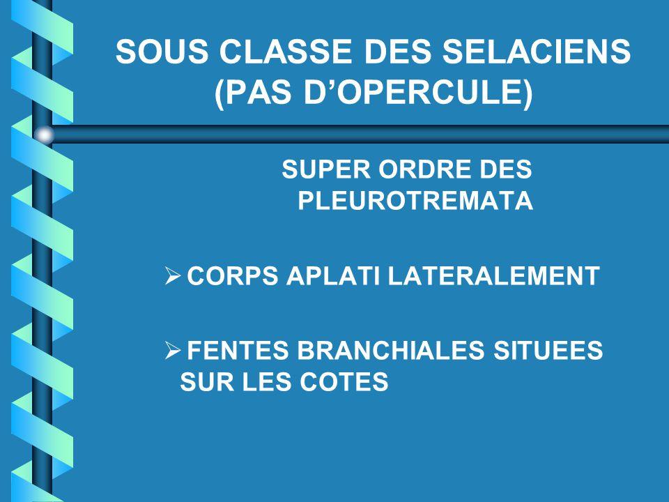 SOUS CLASSE DES SELACIENS (PAS D'OPERCULE)