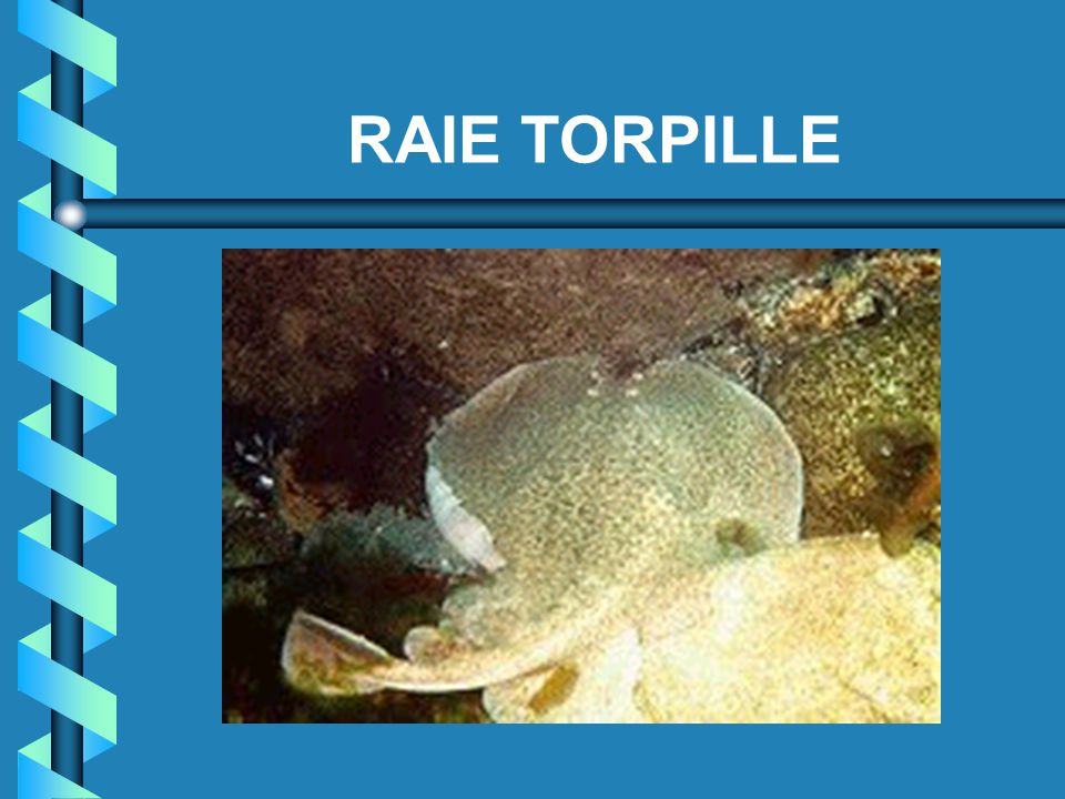 RAIE TORPILLE