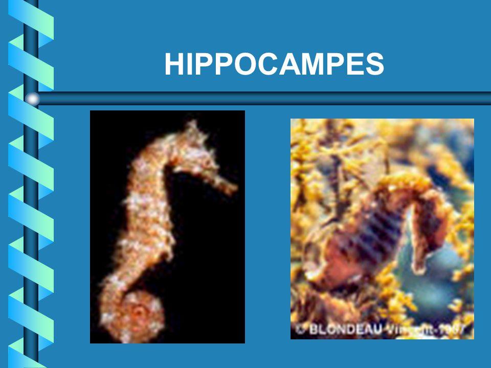 HIPPOCAMPES