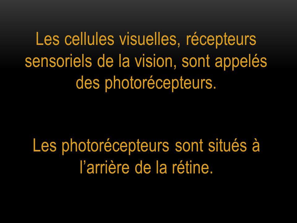 Les photorécepteurs sont situés à l'arrière de la rétine.