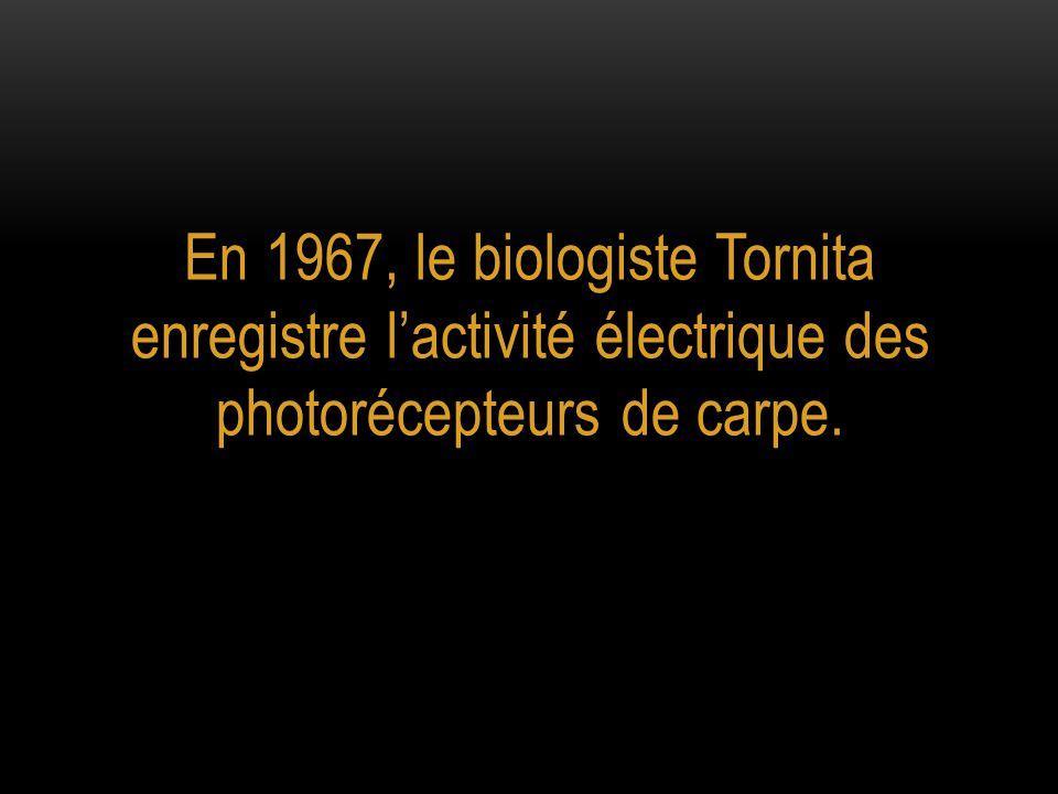 En 1967, le biologiste Tornita enregistre l'activité électrique des photorécepteurs de carpe.