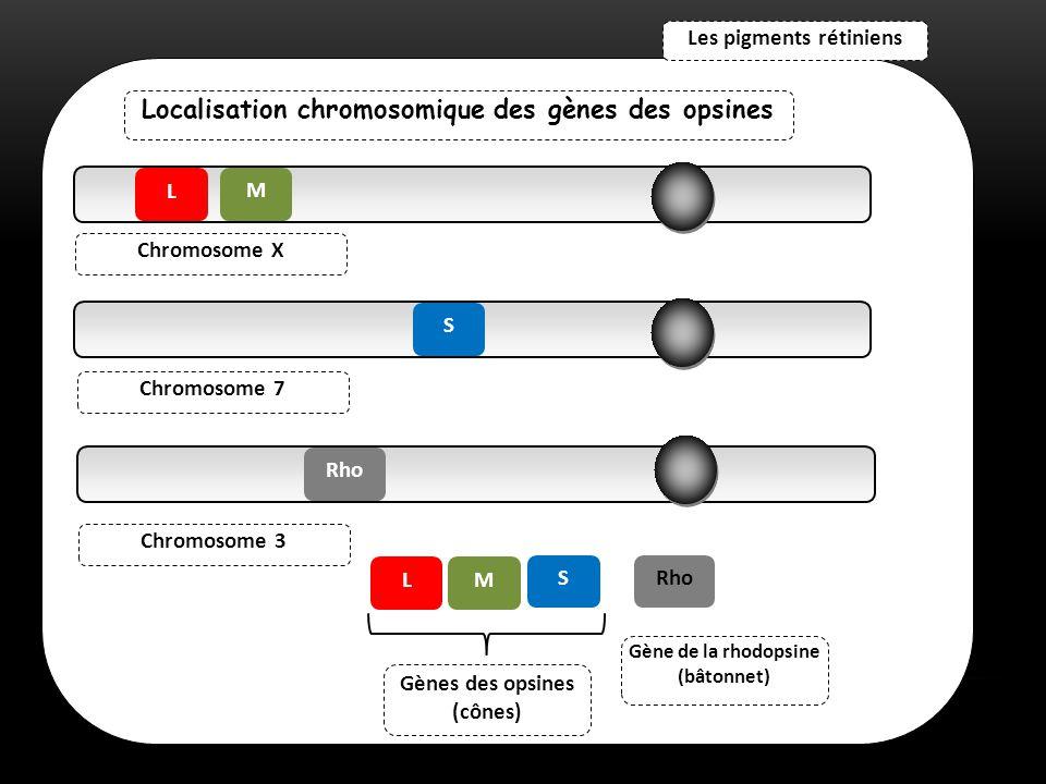 Localisation chromosomique des gènes des opsines