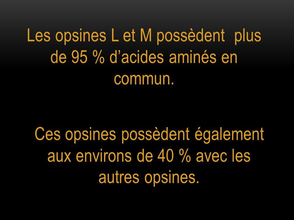 Les opsines L et M possèdent plus de 95 % d'acides aminés en commun.