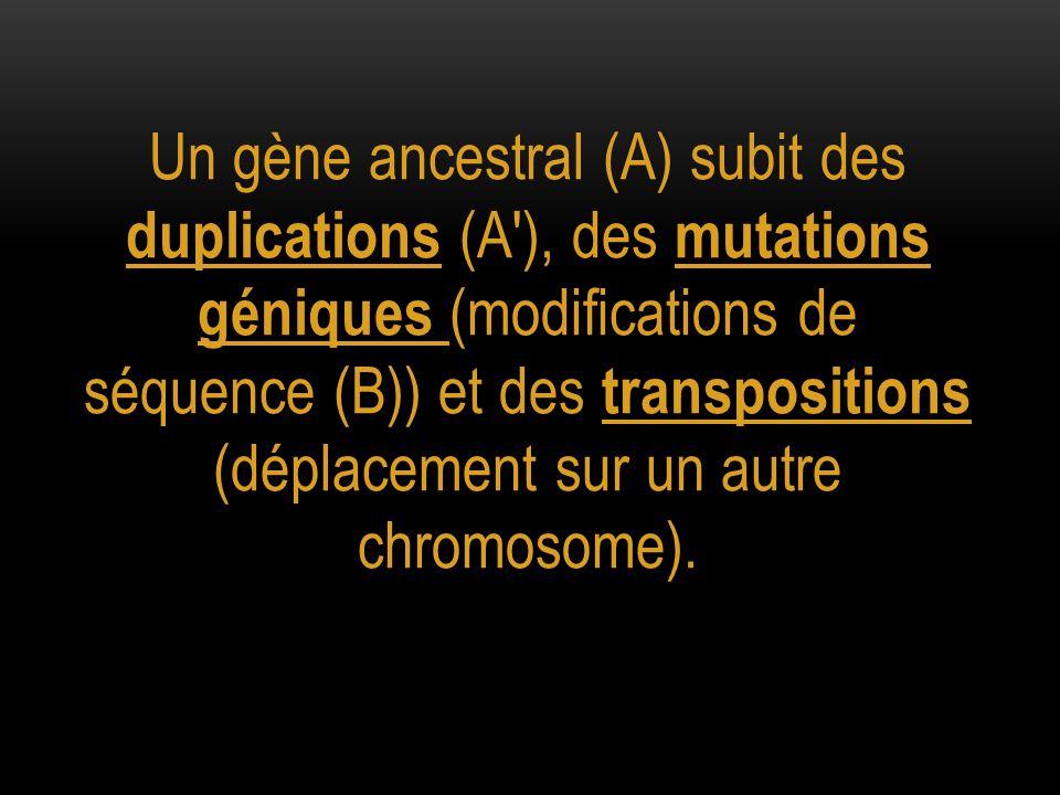 Un gène ancestral (A) subit des duplications (A ), des mutations géniques (modifications de séquence (B)) et des transpositions (déplacement sur un autre chromosome).