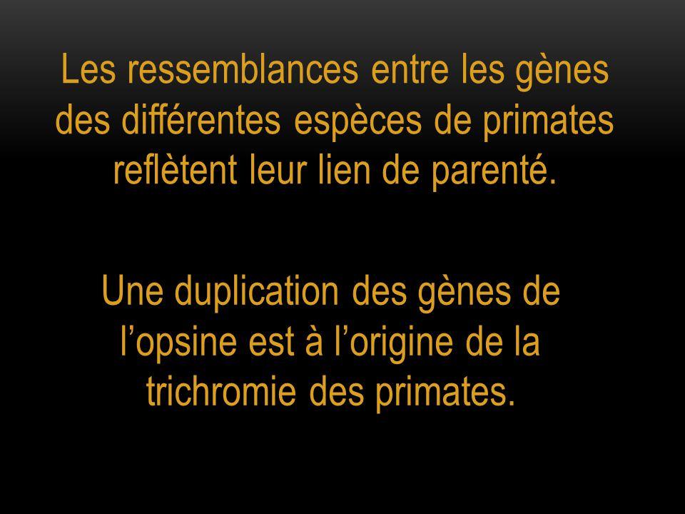 Les ressemblances entre les gènes des différentes espèces de primates reflètent leur lien de parenté.