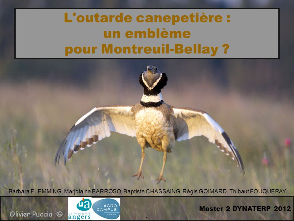L outarde canepetière : pour Montreuil-Bellay