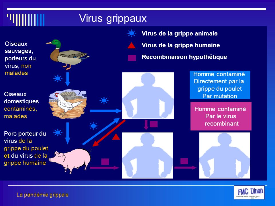 Virus grippaux Virus de la grippe animale Virus de la grippe humaine
