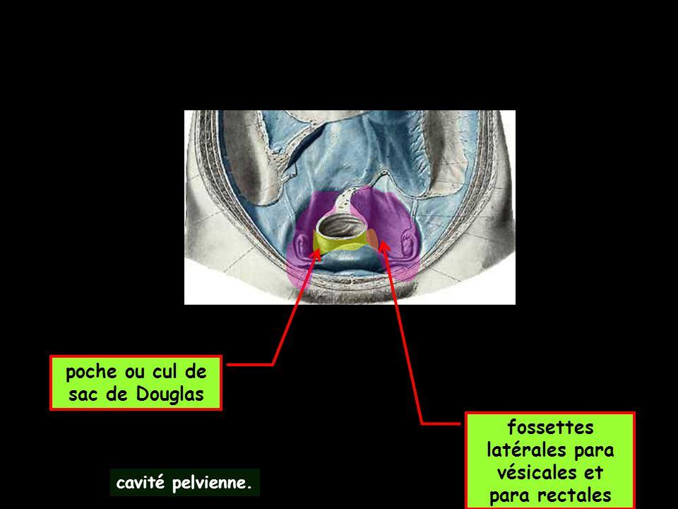 fossettes latérales para vésicales et para rectales