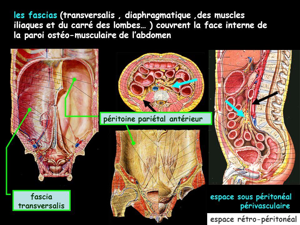 les fascias (transversalis , diaphragmatique ,des muscles iliaques et du carré des lombes… ) couvrent la face interne de la paroi ostéo-musculaire de l'abdomen