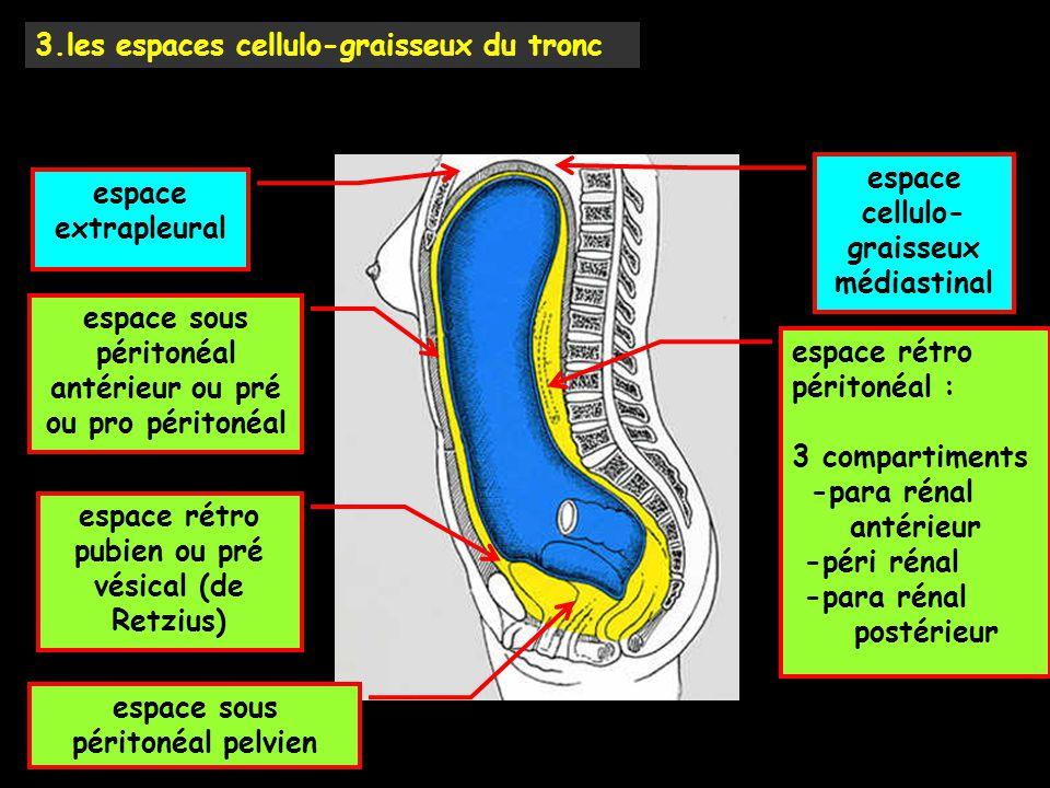 3.les espaces cellulo-graisseux du tronc