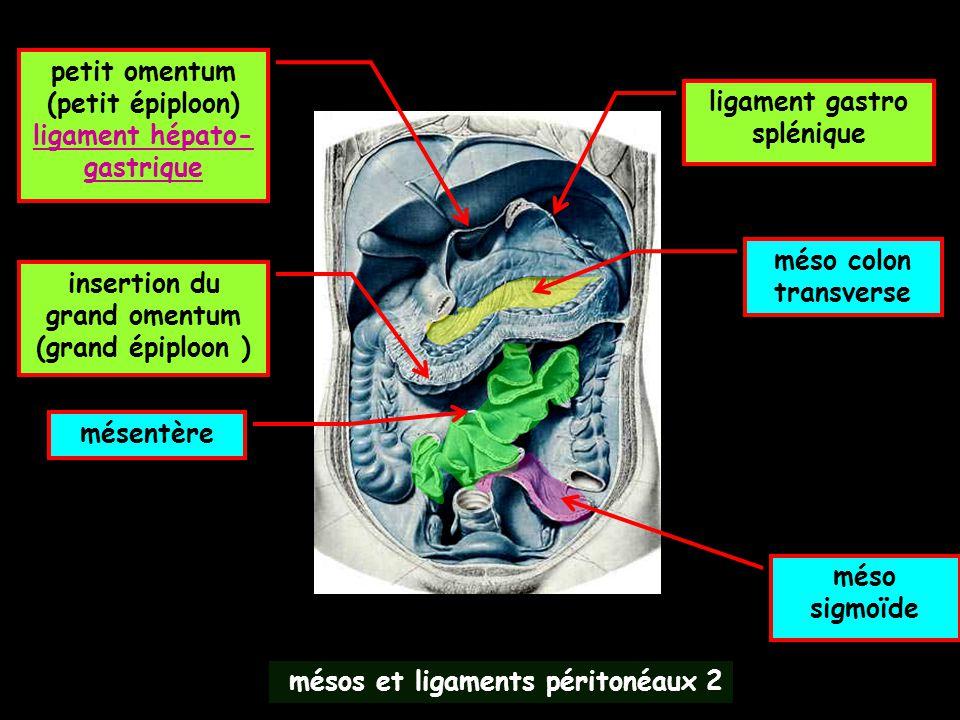 ligament hépato-gastrique ligament gastro splénique