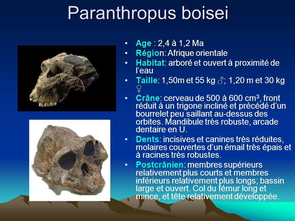 Paranthropus boisei Age : 2,4 à 1,2 Ma Région: Afrique orientale