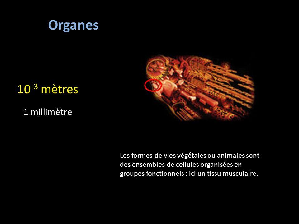 Organes 10-3 mètres 1 millimètre
