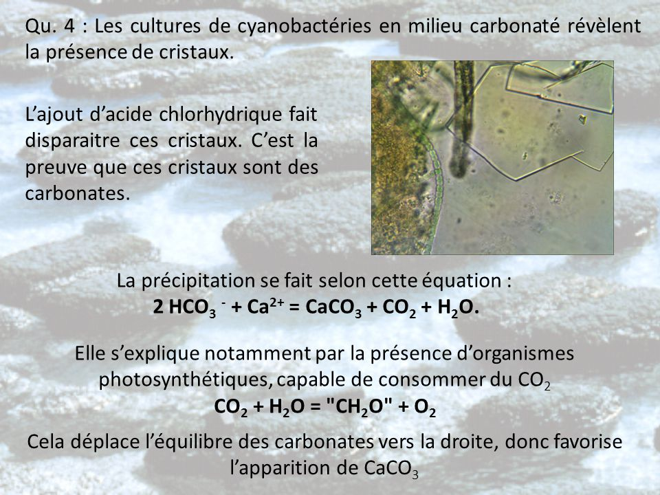 Qu. 4 : Les cultures de cyanobactéries en milieu carbonaté révèlent la présence de cristaux.