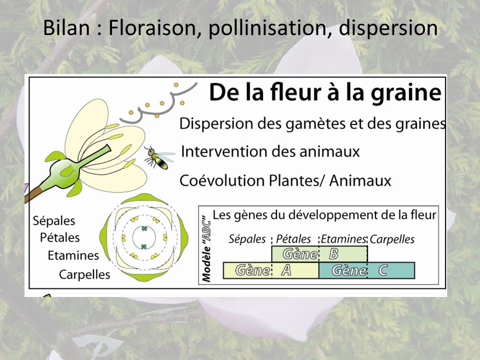 Bilan : Floraison, pollinisation, dispersion