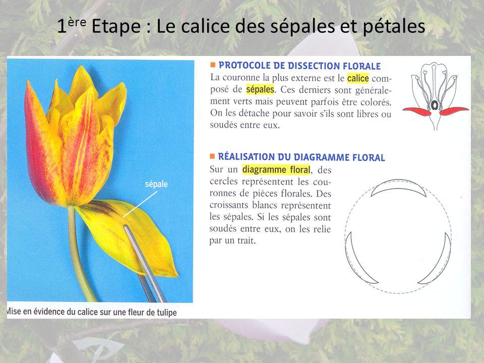 1ère Etape : Le calice des sépales et pétales