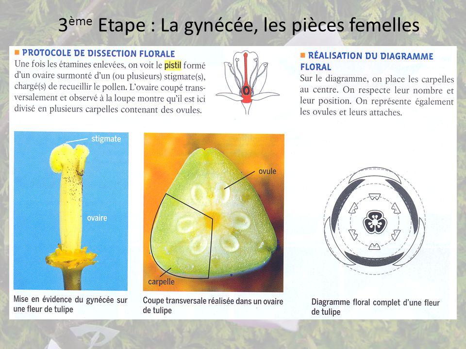 3ème Etape : La gynécée, les pièces femelles