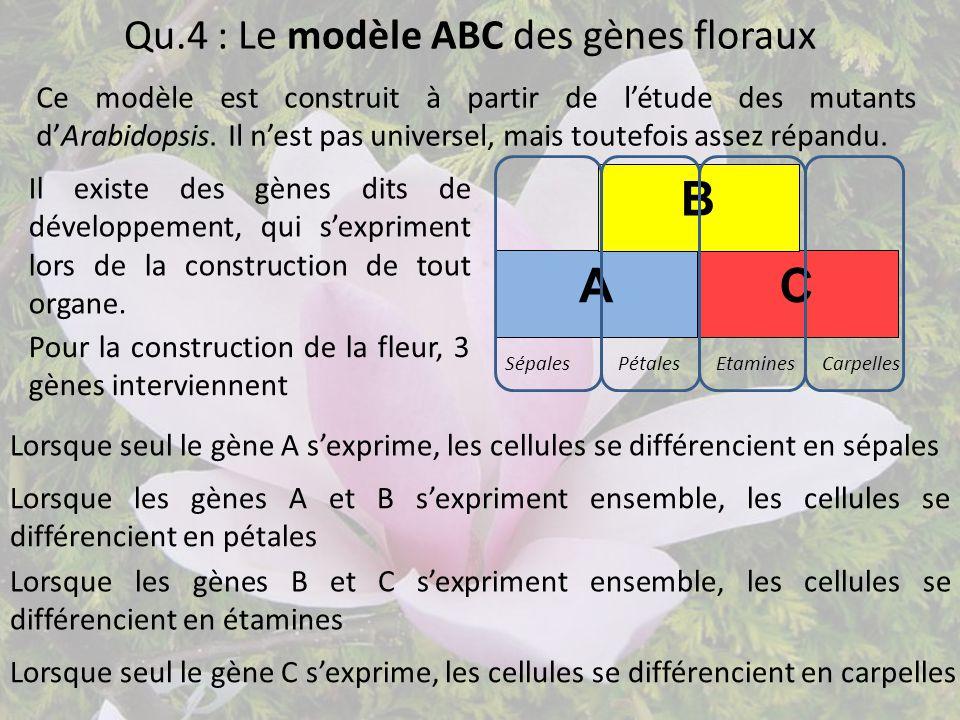 Qu.4 : Le modèle ABC des gènes floraux