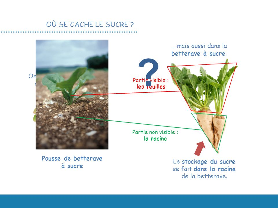 Le sucre du champ l assiette ppt video online - Comment cuisiner les feuilles de betterave rouge ...