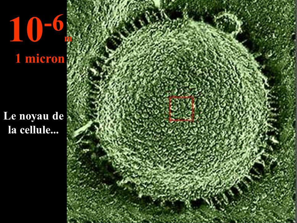 10-6m 1 micron Le noyau de la cellule...